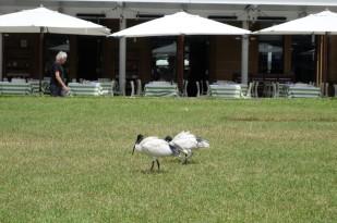 ibis-a-cou-noir-1-copier