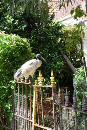 ibis-a-cou-noir-2-copier
