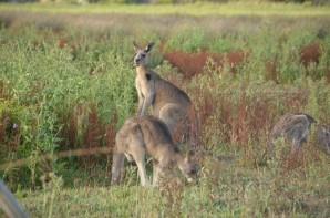 kangourou-23-copier