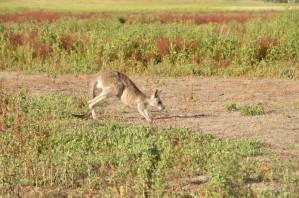 kangourou-26-copier