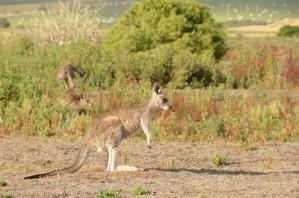 kangourou-29-copier