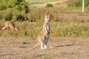 kangourou-32-copier