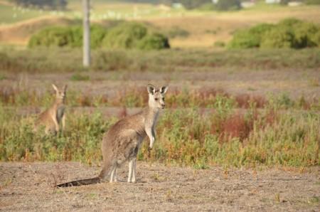 kangourou-33-copier