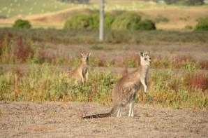 kangourou-7-copier