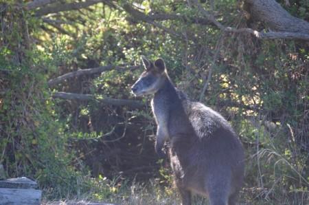 kangourou-copier