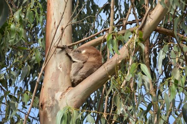 koala-10-copier