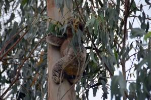 koala-12-copier