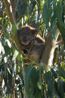 koala-16-copier