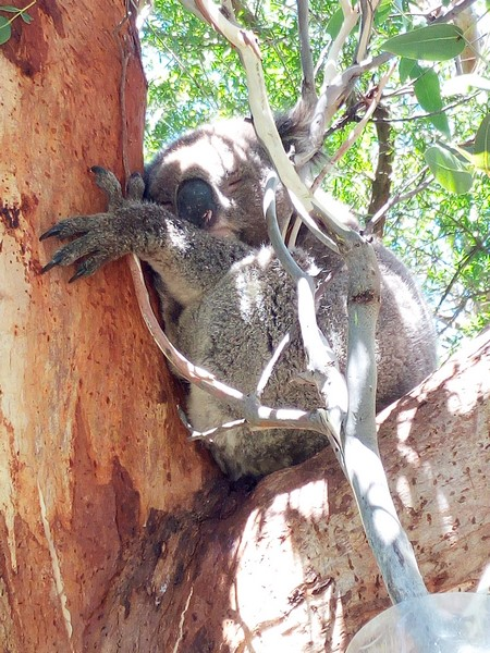 koala-2-copier