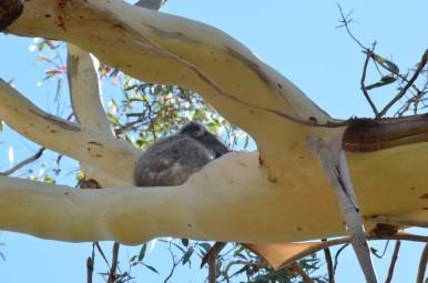 koala-29-copier