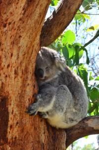 koala-3-copier
