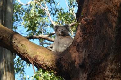 koala-30-copier