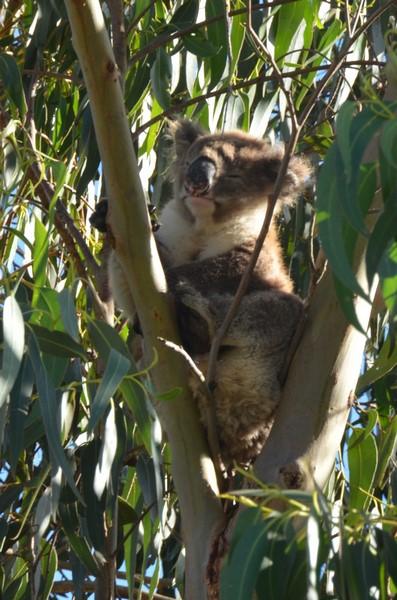 koala-7-copier