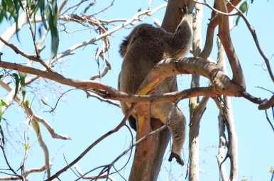 koala-copier
