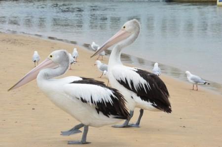 pelicans-1-copier