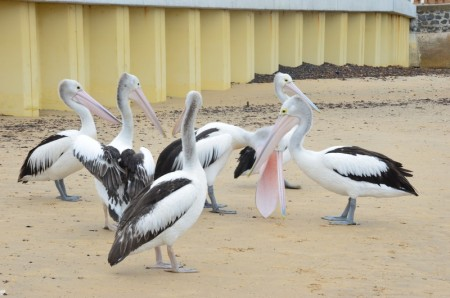 pelicans-2-copier