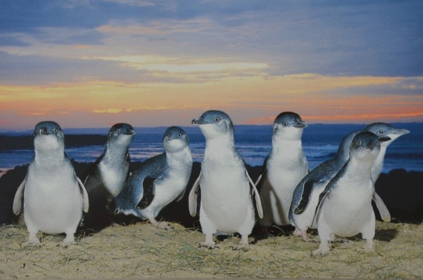 pingouins-4-copier