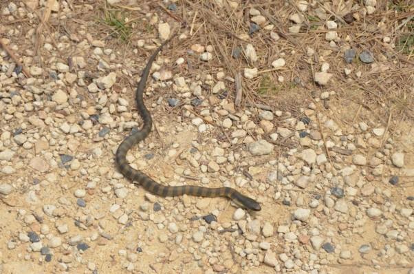 serpent-tigre-1-copier