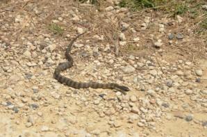 serpent-tigre-2-copier