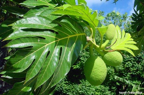 arbre-pain-uru-tahiti-heritage